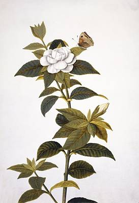 Gardenia And Butterfly, 18th Century Art Print