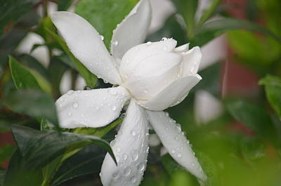 Photograph - Gardenia Beauty 2013 by Maria Urso