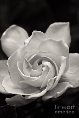 Gardenia Bloom In Sepia Art Print