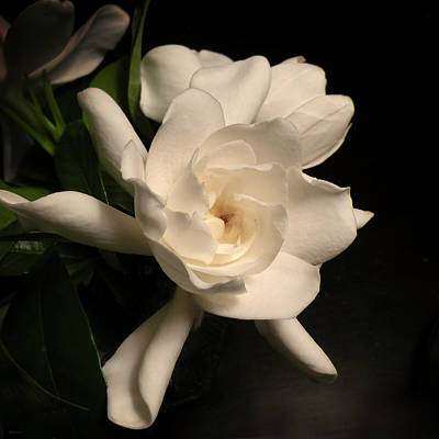 Photograph - Gardenia Blossom by Deborah Smith
