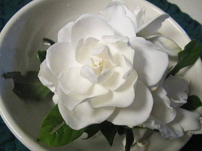 Gardenia Bowl Art Print