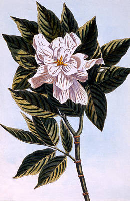 Gardenia G Augusta Art Print