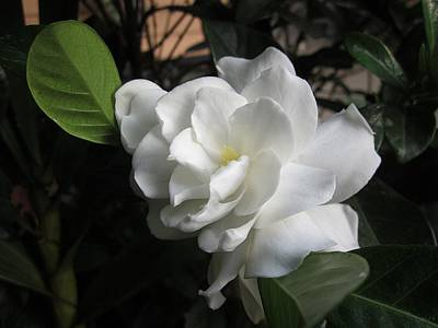 Photograph - Gardenia by MTBobbins Photography