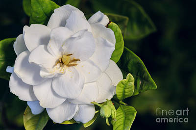 Photograph - Gardenia by Tamara Becker