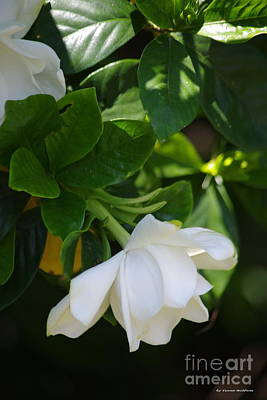 Photograph - Gardenia by Tannis  Baldwin