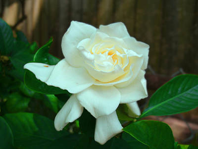 Photograph - Gardenia Time Again by Ginny Schmidt