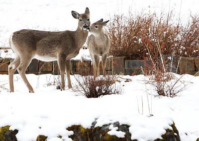 Deer Photograph - Gardening by Aaron Aldrich