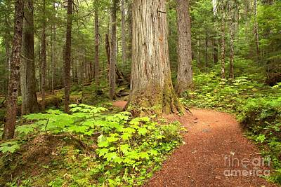 Photograph - Garibaldi Wilderness Rainforest by Adam Jewell