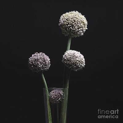Garlic Flowers. Allium. Art Print