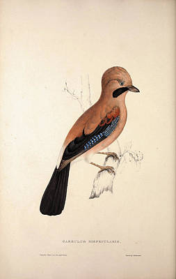 Asian Artist Drawing - Garrulus Bispecularis, Himalayan Jay. Birds by Quint Lox