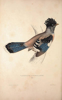 Exotic Drawing - Garrulus Lanceolatus,  Black-headed Jay Or Lanceolated Jay by Quint Lox
