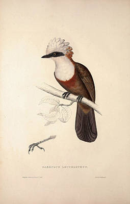Exotic Drawing - Garrulus Leucolophus, White-crested Laughingthrush. Birds by Quint Lox