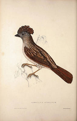 Asian Artist Drawing - Garrulus Striatus, Striated Laughingthrush. Birds by Quint Lox