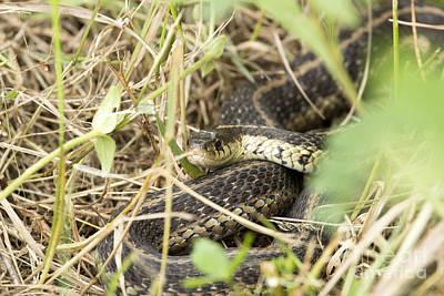 Photograph - Garter Snake by Jeannette Hunt
