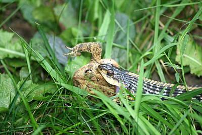 Snake Photograph - Garter Snake Lunch  by Neal Eslinger