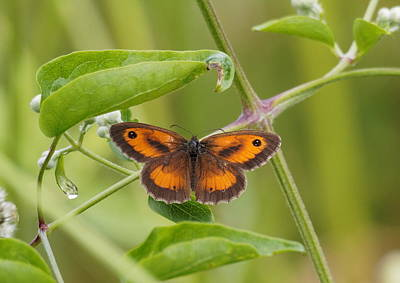 Photograph - Gatekeeper Butterfly -01 by Paul Gulliver
