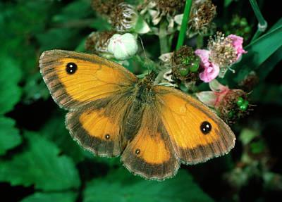 Pattern Photograph - Gatekeeper Butterfly by Nigel Downer