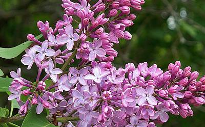 Gathering Lilacs Original by Joy Nichols
