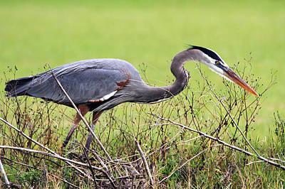 Photograph - Gathering Nesting Materials by Ira Runyan