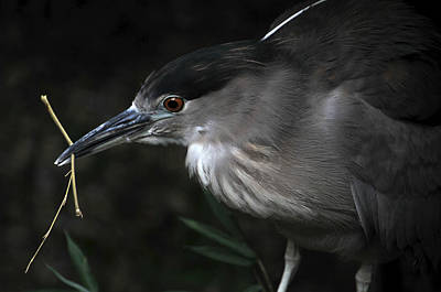 Photograph - Gathering Nesting Materials by Mike Martin