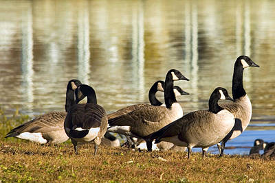 Photograph - Gathering Of Geese by Gene Walls