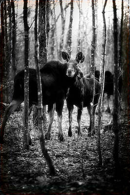 Gathering Of Moose Art Print by Bob Orsillo