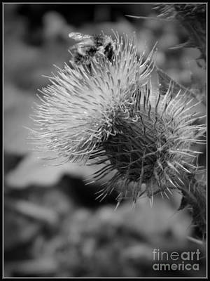 Photograph - Gathering Pollen Bw by Chalet Roome-Rigdon