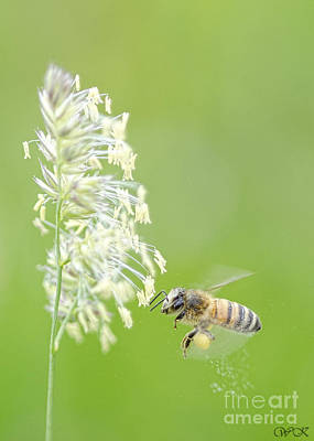 Photograph - Gathering Pollen by Wanda Krack