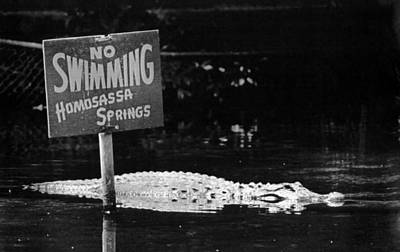 Alligator Photograph - Gator At Homossa Springs by Retro Images Archive