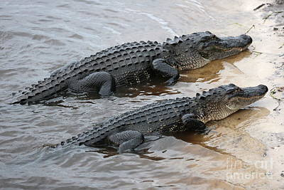 Gator Buddies Art Print by Carol Groenen