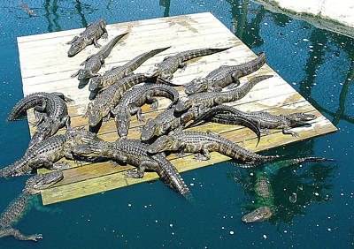 Photograph - Gator Central by David Nicholls