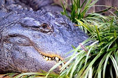 Photograph - Gator by Deena Stoddard