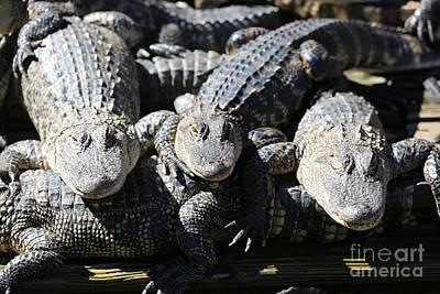 Photograph - Gator Friends by Carol Groenen