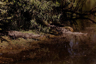 Photograph - Gator Gator by Joseph G Holland