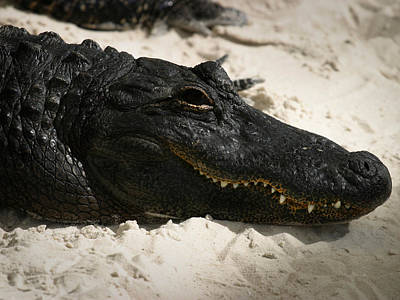 Reptiles Royalty-Free and Rights-Managed Images - Gator in Sand by Anthony Jones