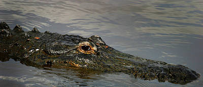 Reptiles Royalty-Free and Rights-Managed Images - Gator in Water by Anthony Jones