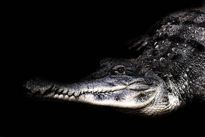 Reptiles Royalty-Free and Rights-Managed Images - Gator by Martin Newman