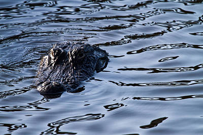 Watching Photograph - Gator On The Hunt by Andres Leon