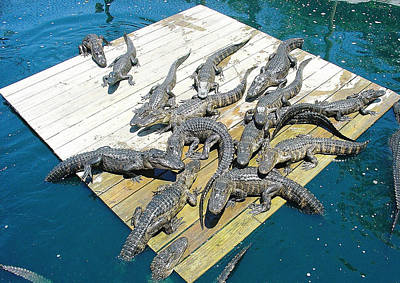 Photograph - Gator Platform by David Nicholls