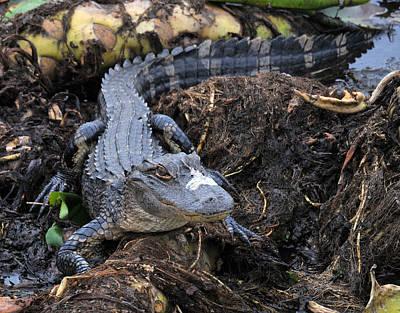 Photograph - Gator by Rebecca Parker