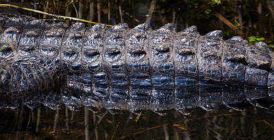 Photograph - Gator Reflection by Adam Pender