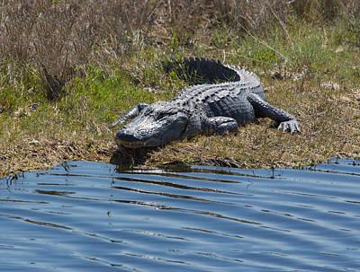 Photograph - Gator Smile by John M Bailey