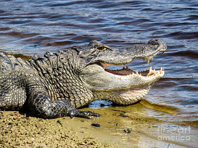 Alligator Photograph - Gator by Zina Stromberg