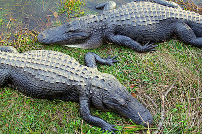 Reptiles Royalty-Free and Rights-Managed Images - Gators by Carey Chen