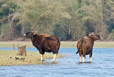 Bison Photograph - Gaur At A River by K Jayaram