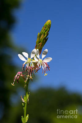 Photograph - Gaura by Jim McCain