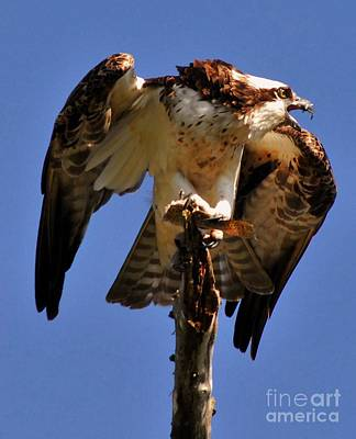 Osprey Wall Art - Photograph - Guarded by Quinn Sedam