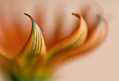 Photograph - Gazania Abstract V by David and Carol Kelly