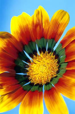 Photograph - Gazania Flower by Carl Perkins