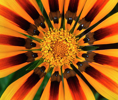 Striking Photograph - Gazania Flower by Nigel Downer